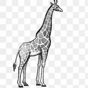 Hand Painted Black Line Animal Giraffe - Giraffe Rhinoceros Okapi Lion Hippopotamus PNG