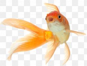 Peces - Common Goldfish Comet Black Telescope Fantail PNG