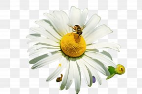 Bee Camomile - Daisy PNG