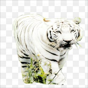 Tiger - Tiger Big Cat Wildlife Terrestrial Animal PNG