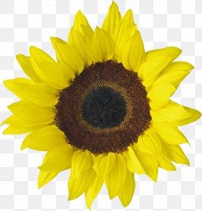 Sunflower Oil - Download Desktop Wallpaper Clip Art PNG