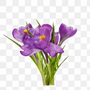 Crocus - First Spring Flowers Clip Art PNG