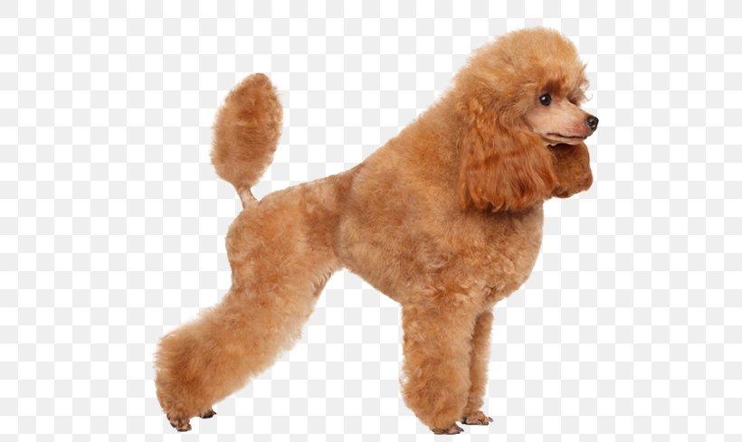 Toy Poodle Miniature Poodle Standard Poodle Puppy Png