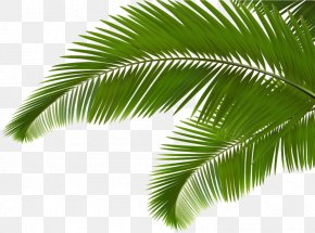Green Coconut Leaves - Palm Branch Arecaceae Leaf Frond Clip Art PNG