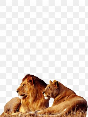 Lion - Lion Tiger Big Cat Wallpaper PNG
