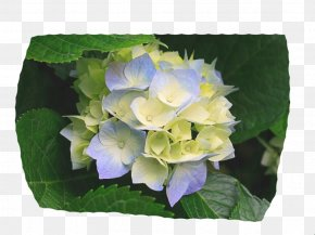 Hydrangea - Yoakum Primary Photographer Photography Dentist Book PNG
