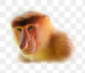 Monkey - Proboscis Monkey Javan Surili Javan Lutung PNG