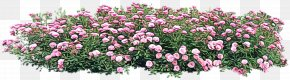 Pink Family Groundcover - Flower Flowering Plant Plant Cut Flowers Pink PNG