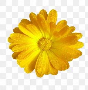 Yellow Chrysanthemum Decoration Pattern - Sister Wish Greeting Card Message PNG