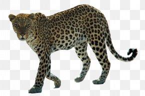 Leopard Hd - Snow Leopard Arabian Leopard African Leopard Felidae PNG