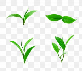 Tea Sharp Picture Material - Tea Leaf Download PNG