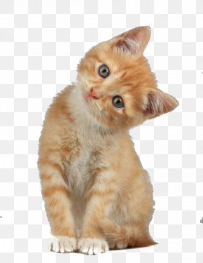 Creative Cute Cat Head Tilt - Scottish Fold Munchkin Cat Kitten Dog PNG