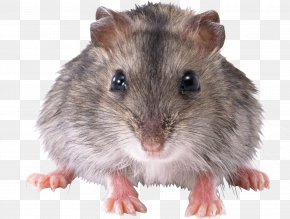 Mouse, Rat Image - Rat Mouse Rodent PNG