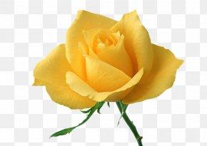 Yellow Rose - Rose Yellow Flower Wallpaper PNG