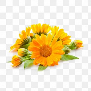 Oil - Calendula Officinalis Oil Tincture Plant Skin Care PNG