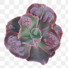 Suculent - Echeveria Succulent Plant Magenta Purple Mount Etna PNG