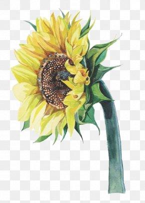 Sunflower - Common Sunflower Watercolor Painting Illustrator Illustration PNG