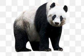 Panda - Sichuan Giant Panda Sanctuaries Red Panda Bear PNG