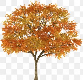 Tree Top - Tree Autumn Maple Stock Photography Branch PNG