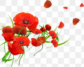 Gerbera - Common Poppy Flower Remembrance Poppy Petal PNG