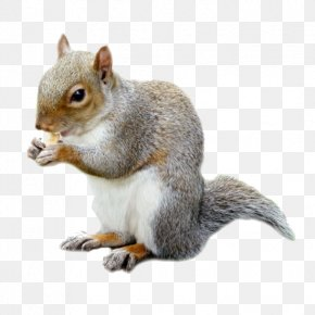 Squirrel - Fox Squirrel Rat Mouse Rodent PNG