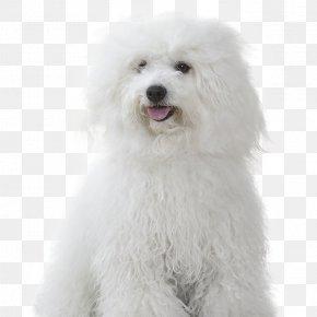 Puppy - Maltese Dog Bichon Frise Miniature Poodle Bolognese Dog Coton De Tulear PNG