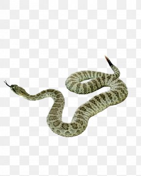Snake Picture - Snake Reptile PNG