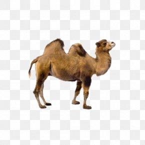 Desert Camel - Bactrian Camel Dromedary Llama Vicuxf1a PNG