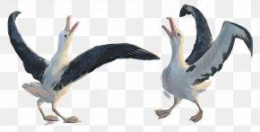 Albatross - Water Bird Pelican Seabird Goose PNG