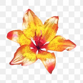 Perennial Plant Wildflower - Lily Flower Cartoon PNG