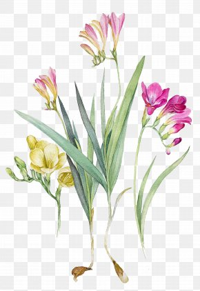 Botanical - Watercolour Flowers Watercolor Painting Botanical Illustration Freesia PNG
