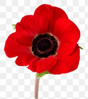 In Flanders Fields Remembrance Poppy Armistice Day Lest We Forget PNG