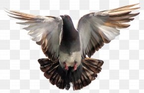 Pigeon - Columbidae Bird Flight Wallpaper PNG