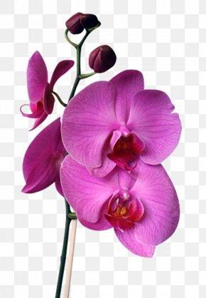 Flower - Orchids Flower Cattleya Walkeriana Cattleya Intermedia Cattleya Labiata PNG
