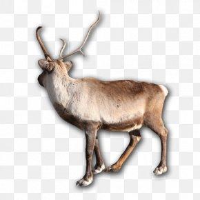 Deer - Reindeer Elk Horn Animal Wildlife PNG