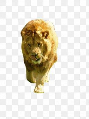 Lion - Lion Cat Animal PNG