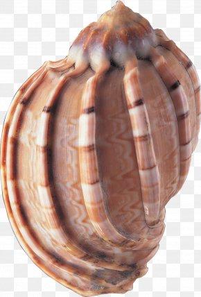 Seashell - Seashell Animal Clip Art PNG