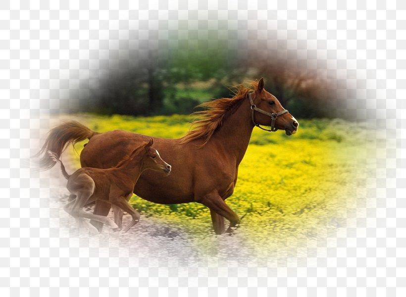Foal Arabian Horse Stallion Mare Desktop Wallpaper Png 800x600px