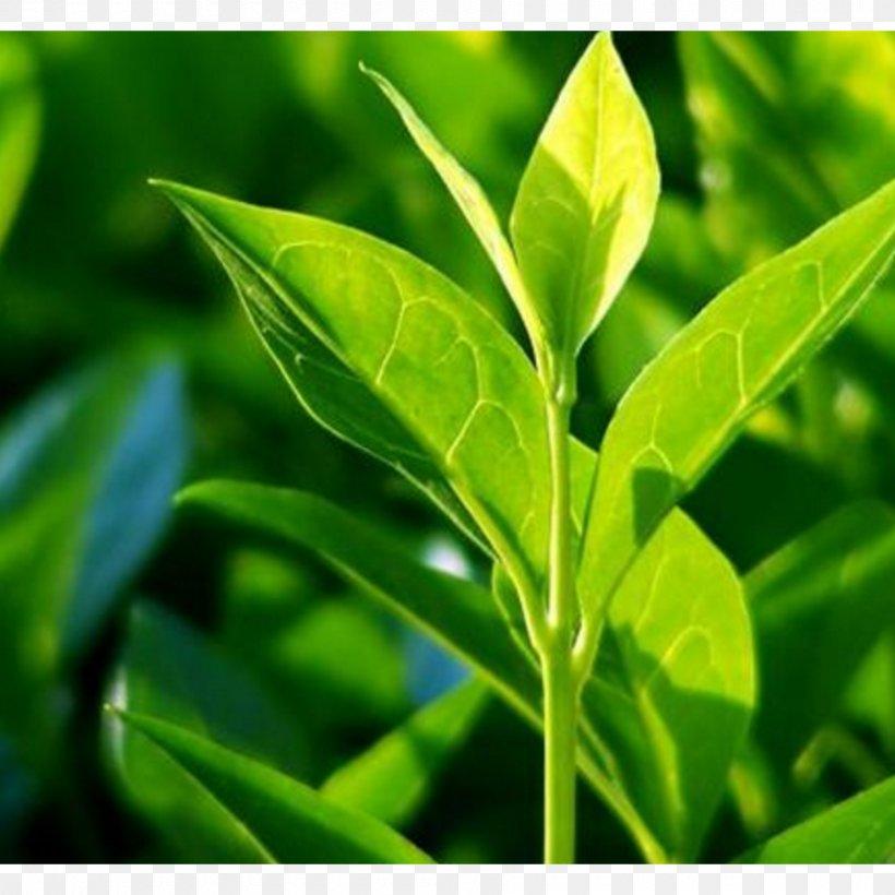 Tea Tree Oil Organic Food Camellia Sinensis, PNG, 1800x1800px, Tea, Antiseptic, Camellia Sinensis, Disease, Essential Oil Download Free