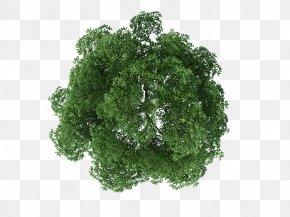 Tree Top View - Tree Rendering PNG