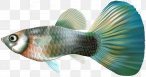 Female Guppy Fish Clip Art - Guppy Fish Clip Art PNG