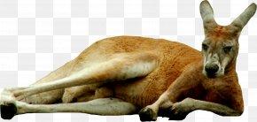 Kangaroo - Kangaroo Icon Clip Art PNG