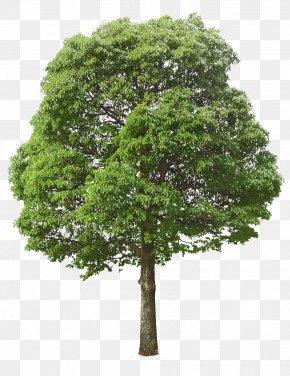 Lush Tree Top - Tree Oak Clip Art PNG