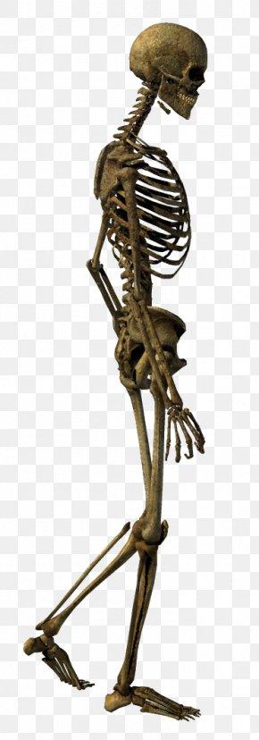 Skeleton - Human Skeleton Bone Homo Sapiens Skull PNG