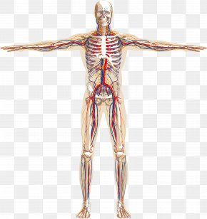 Human Skeleton Vascular Schematic Vector Material, - Human Body Human Skeleton Nervous System Anatomy Circulatory System PNG