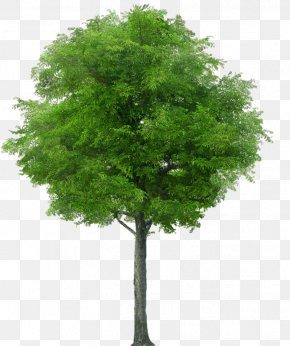 Tree - Tree Clip Art PNG