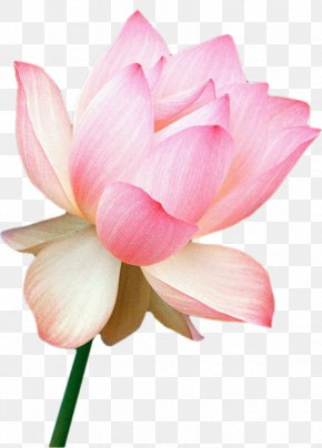 Flower - Nelumbo Nucifera Flower India Floral Emblem Water Lily PNG