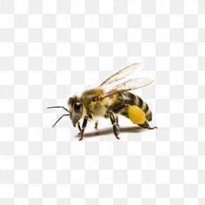 Bee Creative Photos - Western Honey Bee Beehive Beeswax Bee Pollen PNG