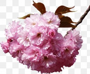 Cherry Blossom - Flower Bouquet Cherry Blossom Clip Art PNG