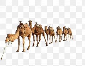 Camel 4 - Dromedary Camel PNG